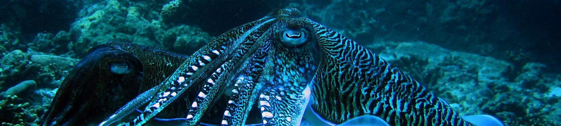 Night diving Phuket brings out spectacular creatures like this electric Cuttlefish
