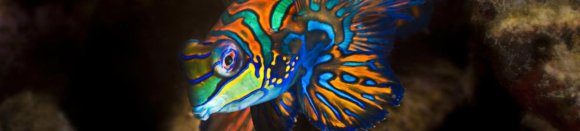 Brightly colored Mandarin fish photographed on a Phuket night dive