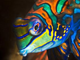 Mandarin fish looking into the camera lens